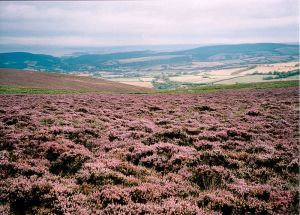 exmoor-heather