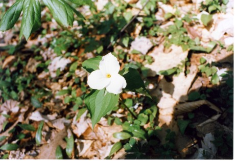 Triillium grandiflorum, one of the ten trilliums of the Smokies