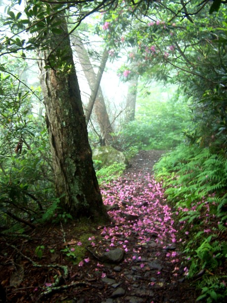 Rhodo blossoms on trail