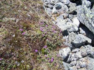 Rosebay and scree