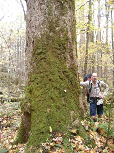 Brian admires very large sugar maple