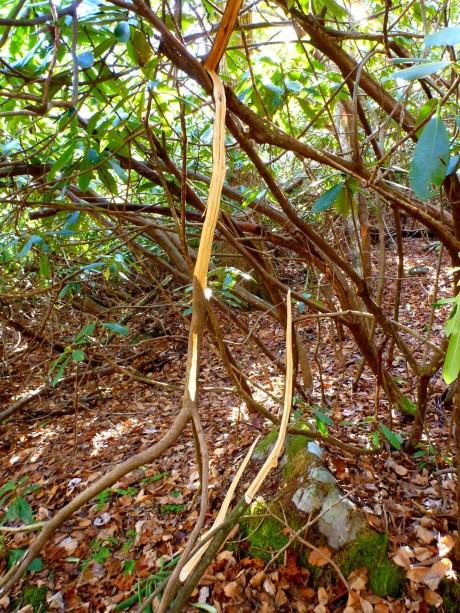Stripped rhodo branches