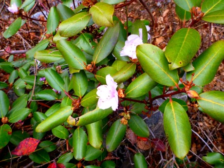 Carolina rhododendron in bloom in December.