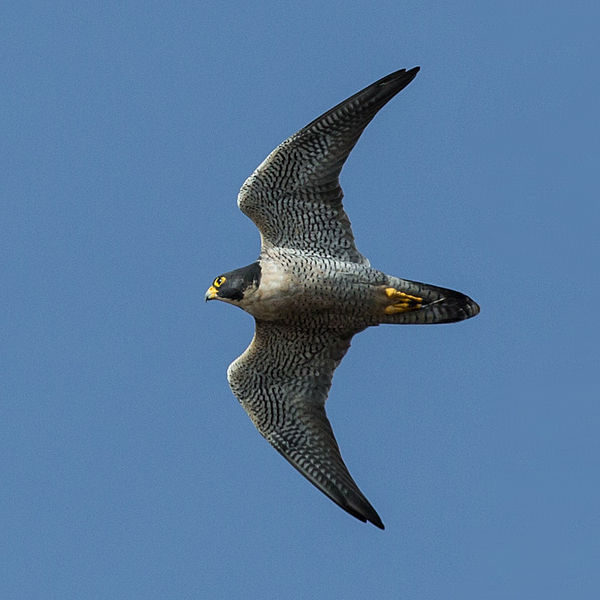peregrine falcon | Endless streams and forests