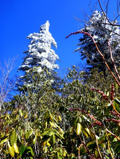 Frosty spruce towers above rhodo jungle. Contrasts of the Smokies!