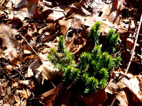 This club moss provided a luxuriant shade of green.