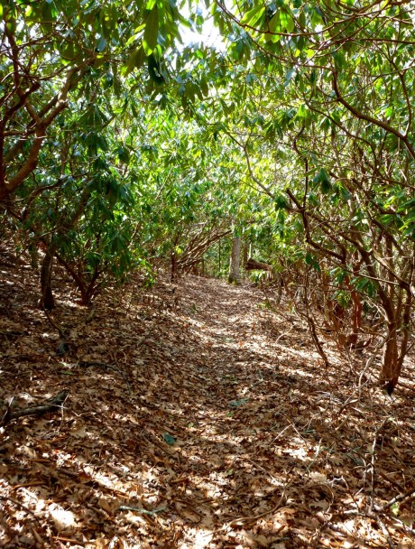 Sun-dappled rhodo tunnel.