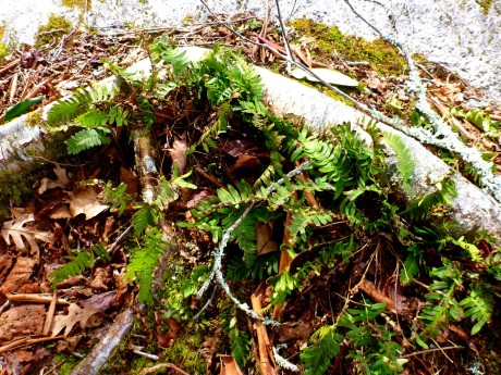 Christmas ferns embraced by birch root.