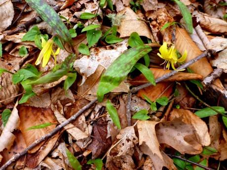 Trout lilies.