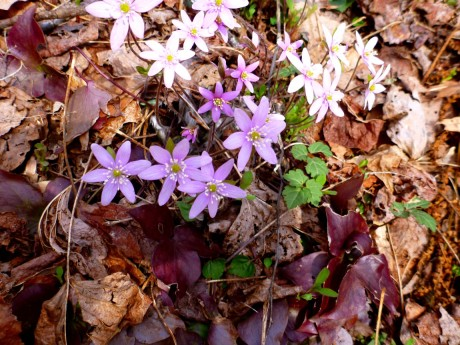 Pink and white hepatica.