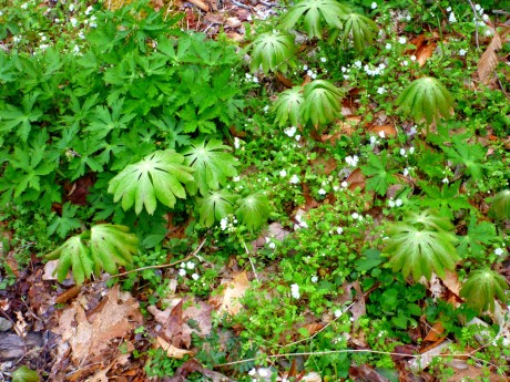 Mayapples and phacelia.