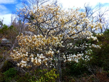 This serviceberry had a beautiful shape.