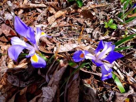 The irises grew even in dry soil.