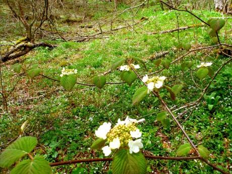 Hobblebush (viburnum) and spring beauties.