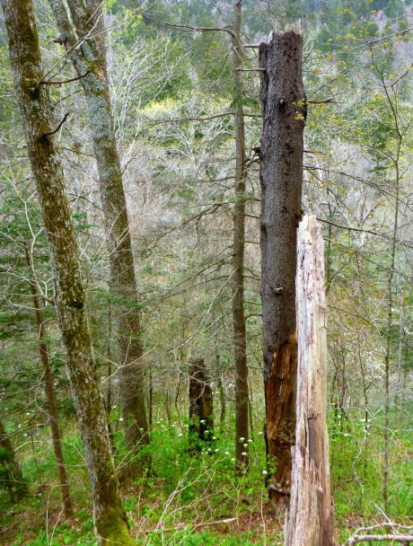 Snapped-off spruce trunk---one of the markers for the Tomahawk junction.