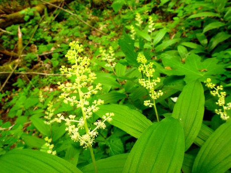 False solomon's seal.