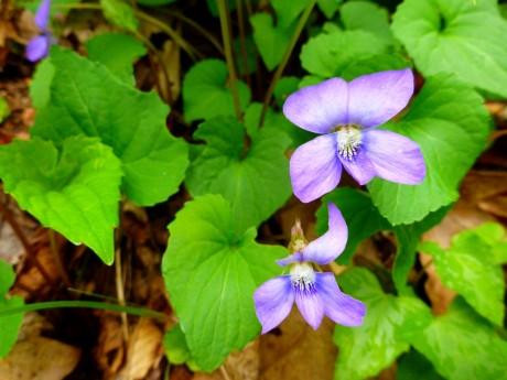 Purple violets.