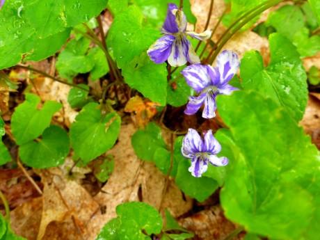 Variegated violets.