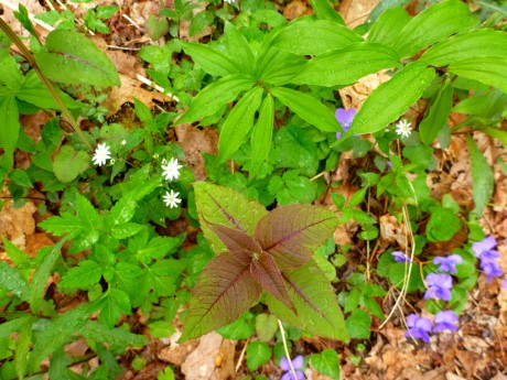 Bee balm leaves, chickweed, violets.