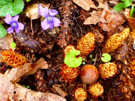 Squaw root, acorn, violets.
