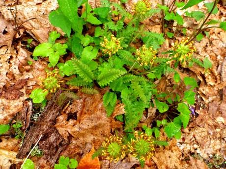 Pinwheels of lousewort.