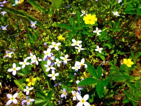 Blue and yellow (bluets and cinquefoil).