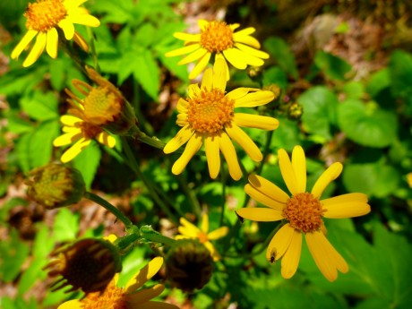 Yellow with orange centers (roundleaf ragwort).