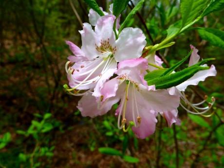 Pink (wild azalea).