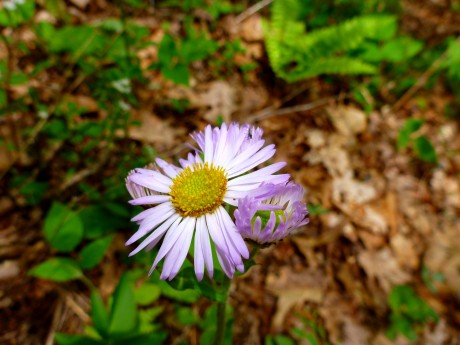 Pale purple with yellow centers (fleabane).