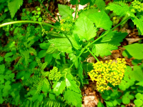 Yellow surrounded by green (golden alexander).