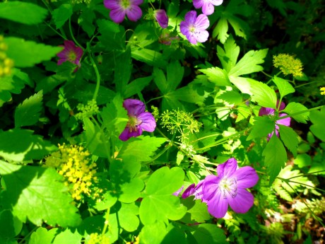 Purple and yellow (golden alexander and geraniums).