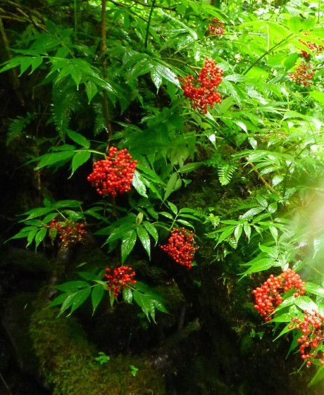 Mountain ash berries.