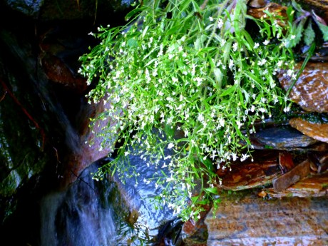 Saxifrage hangs over stream.
