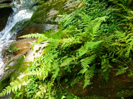 Fern garden beside the stream.