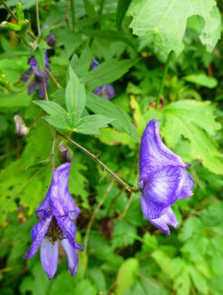 Monkshood.