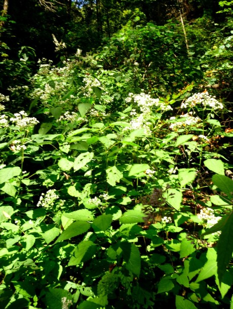 Snakeroot growing to side of draw.