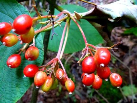 Berries of witch hobble (viburnum).