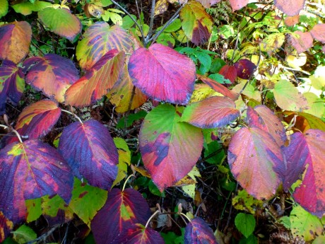 Witch hobble leaves.