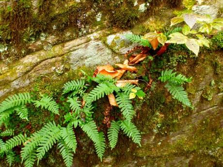 Polypody ferns.