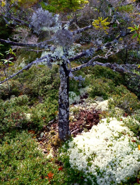 A dead pine amidst pillows of myrtle and reindeer moss.