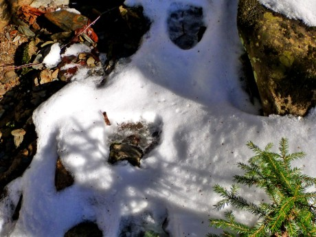 Bear prints in the snow.