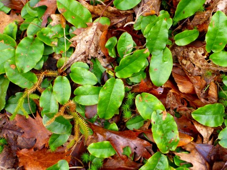 There are carpets of wintergreen.
