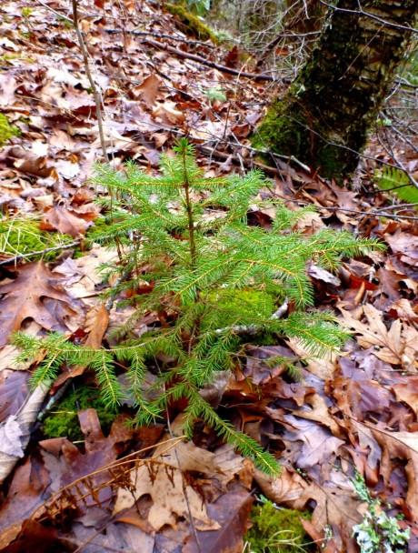 Grow and flourish, baby spruce!