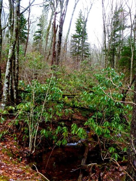 A gathering of spruce.