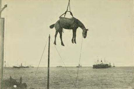Horse offloaded from ship.