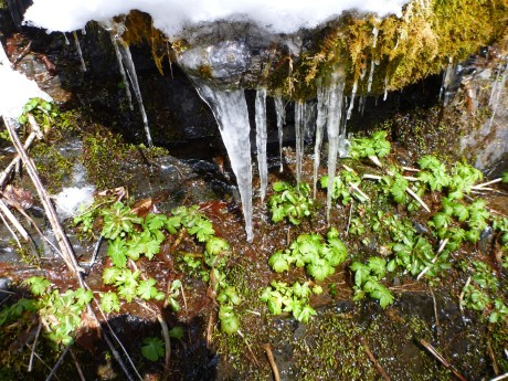 Tender green plants huddle beneath big icicles.