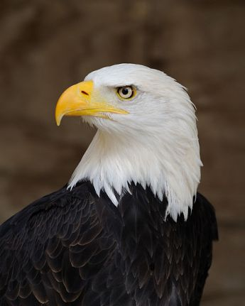 A younger, spiffier looking eagle. (Wikimedia photo)