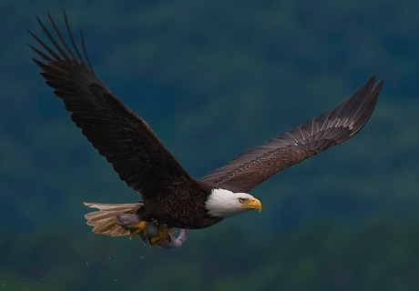 Bald eagle with fish. (Wikimedia photo)