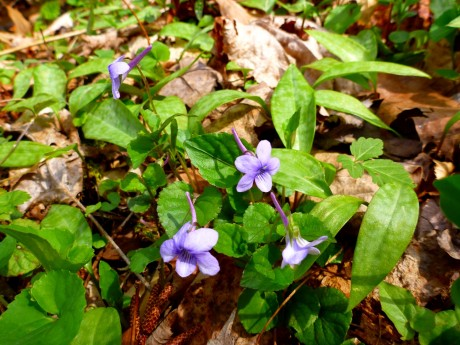 Longspur violets.