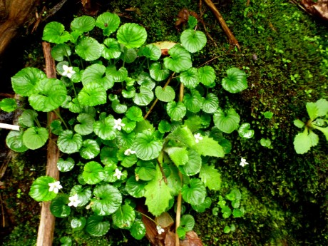Pretty white violets growing in damp moss.